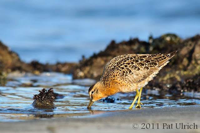 Short-billed dowitcher in breeding plumage - Pat Ulrich Photography