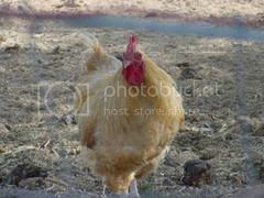 A tender chicken, Perdue's mother, Fritzie