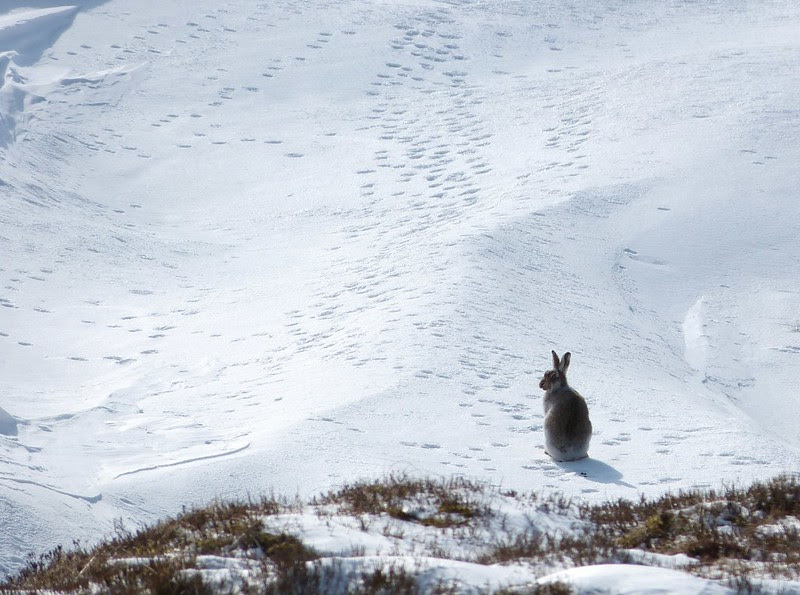P1040361 - Mountain Hare, Bleaklow