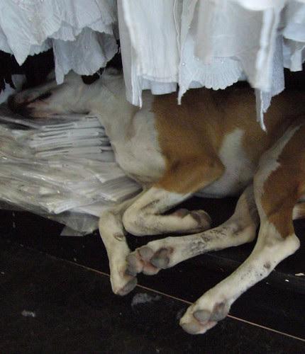 dog in dress shop