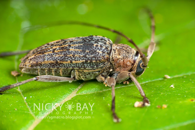 Longhorn Beetle (Cerambycidae) - i02801