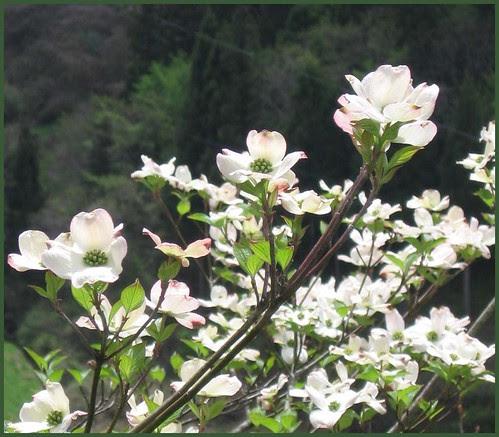 02 yamabooshi blossoms