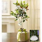 Magnolia Tree for Sympathy - Plants by 1-800 Flowers