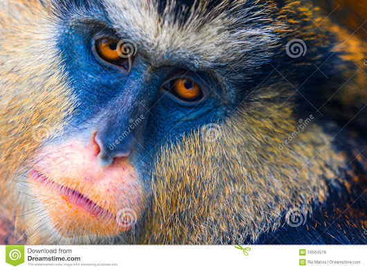 Mona Monkey Stock Photo - Image: 59564578
