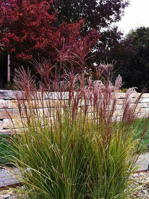 IMG_1440 Maiden Grass