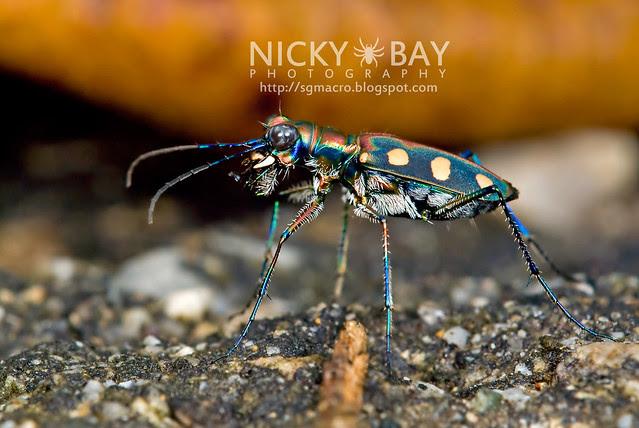 Tiger Beetle (Cicindelinae) - DSC_7022