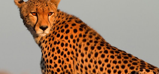 Cheetah | Nature | PBS