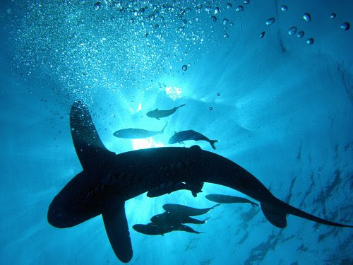 Pictures Of Sharks For Kids. This photo of a shark (at sea,