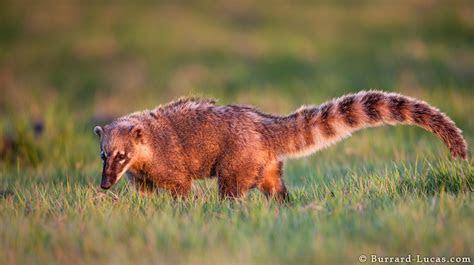 Mammals   Pantanal Photos