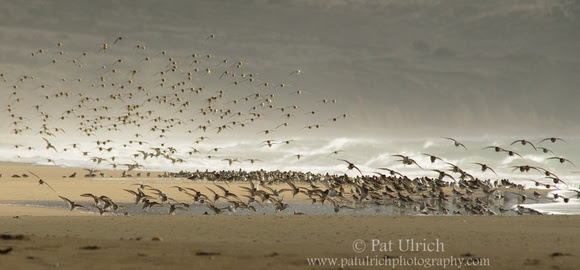 Photograph of a flock of shorebirds landing on the beach in Point Reyes National Seashore