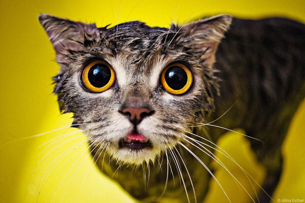 Fotografias engraçadas de gatos tomando banho 14