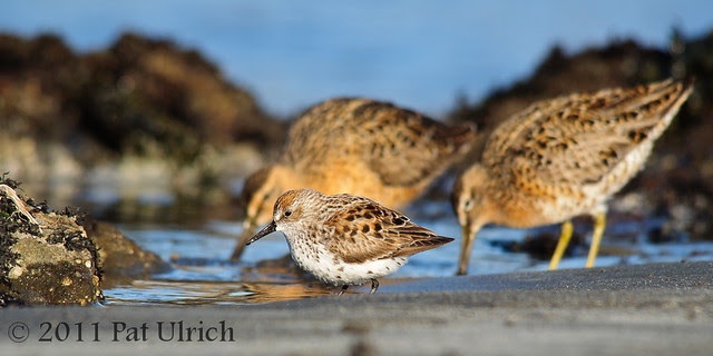 Sandpiper and dowitchers - Pat Ulrich Wildlife Photography