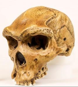 Cráneo b