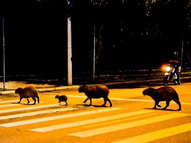 Capivaras pararam o trânsito para atravessar a rua (Foto: Studio Victor Hugo/Divulgação)