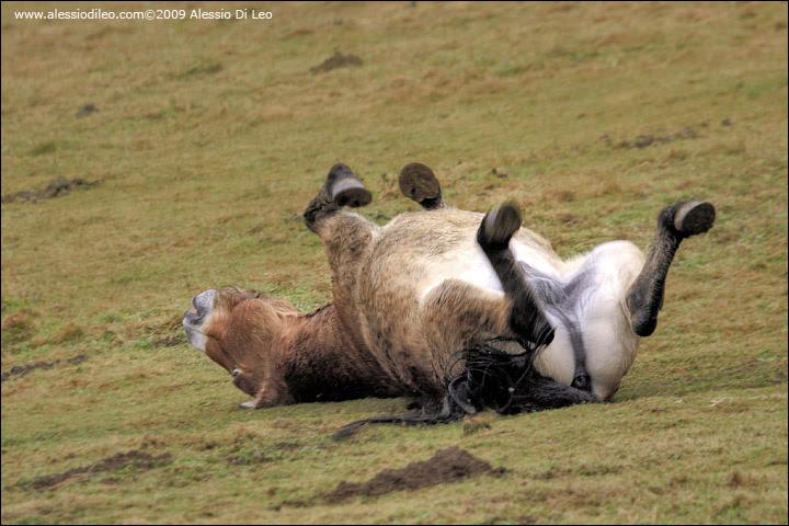 Cavallo przewalski