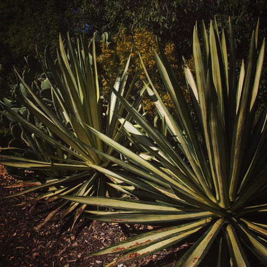 Agave all in a row |  A Gardener's Notebook