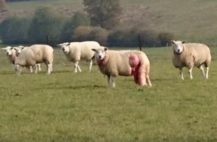 moutons-blesses-par-des-loups