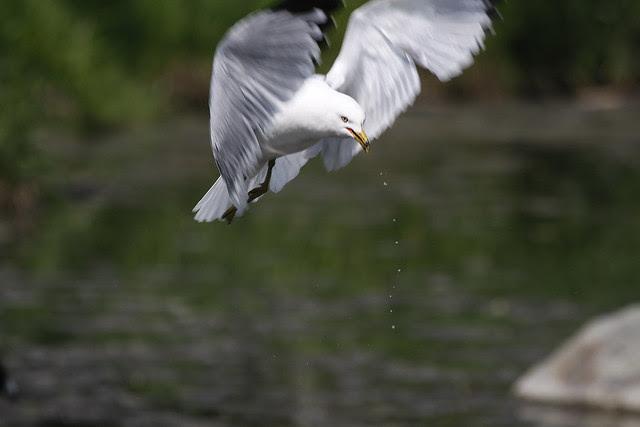 gull dripping