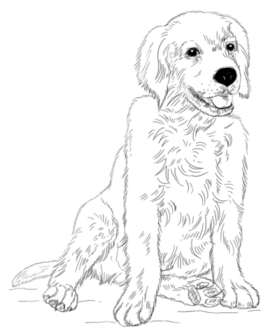 Golden Retriever Puppy Coloring Page Cuteanimals