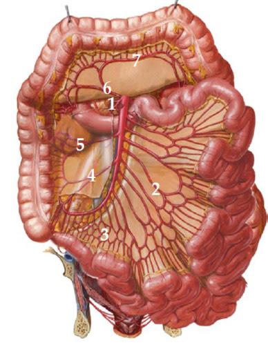 anatomy - extraperitoneal abdominal viscera
