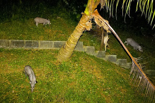 wild boars spotted in school campus 02