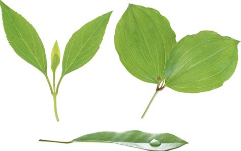 green leaves png images   pictures