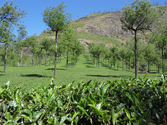 Tea Gardens on hill slopes near Munnar, Kerala
