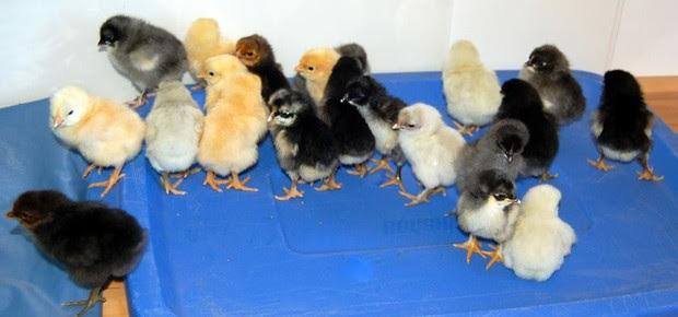 rent a chicken (Foto: Divulgação)