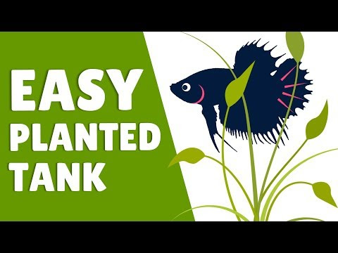 How to Set Up an Easy Betta Planted Tank | Hack My Betta Tank