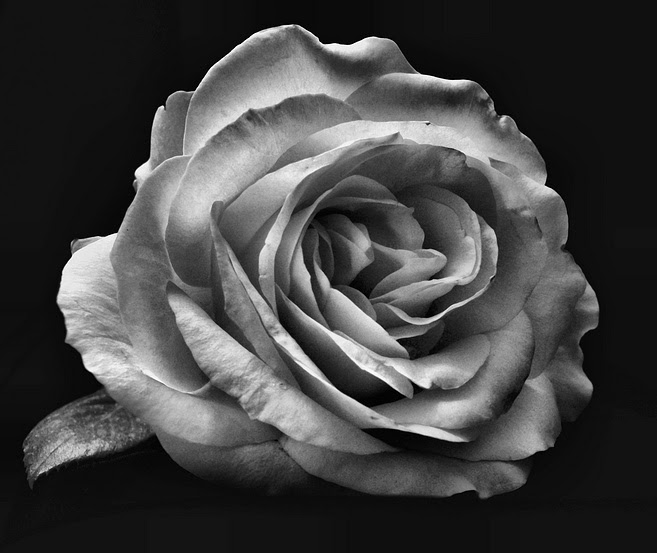 Free Rose In Black And White Download Free Clip Art Free Clip Art