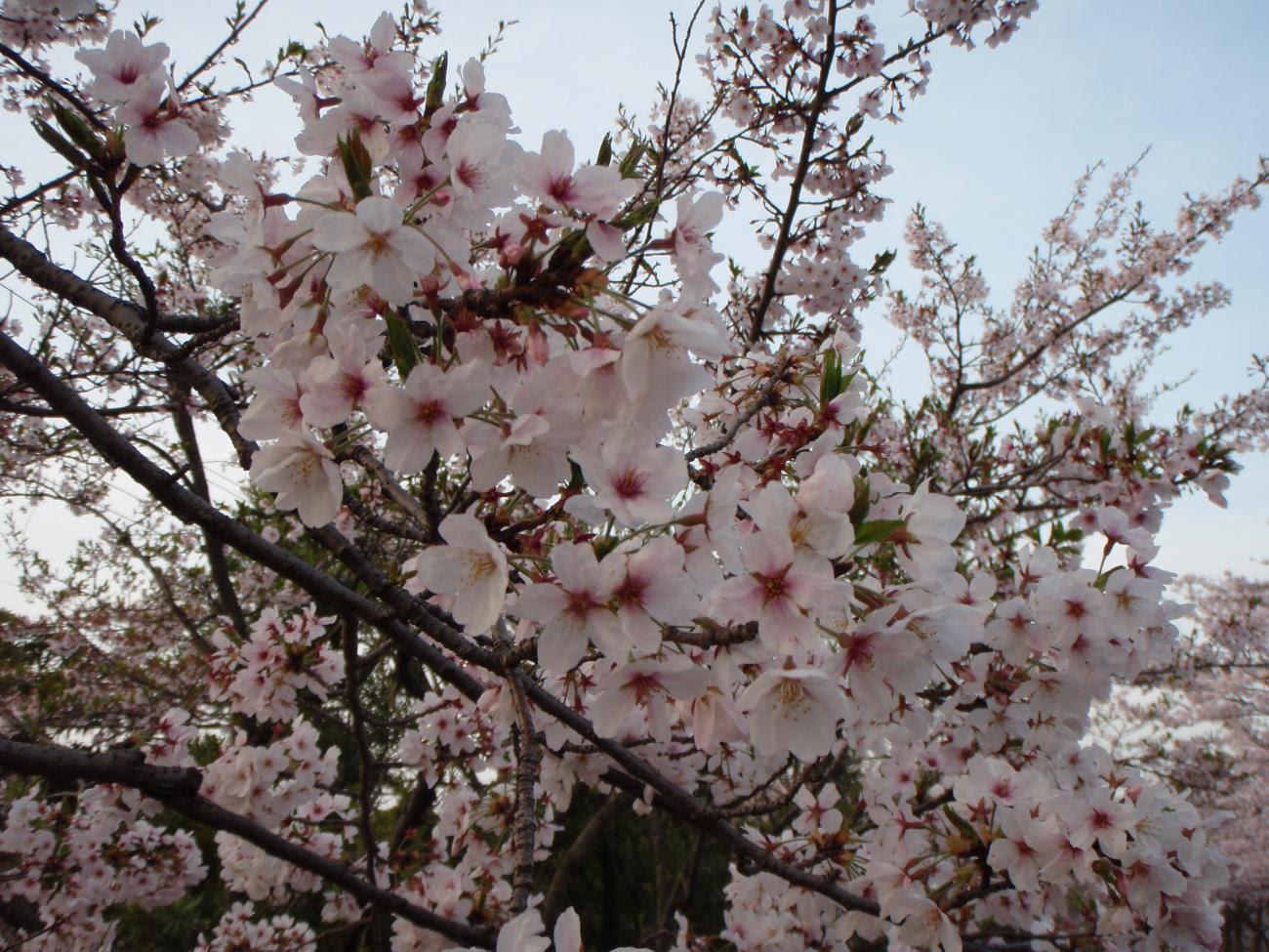 Hewan Lucu 2016 Animasi Bergerak Bunga Sakura Berguguran Images