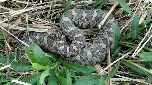 For now, Illinois' imperiled eastern massasauga rattlesnakes retain their genetic diversity