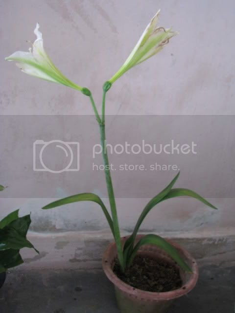 IMG_4534.jpg Lily Putih picture by shaifuls