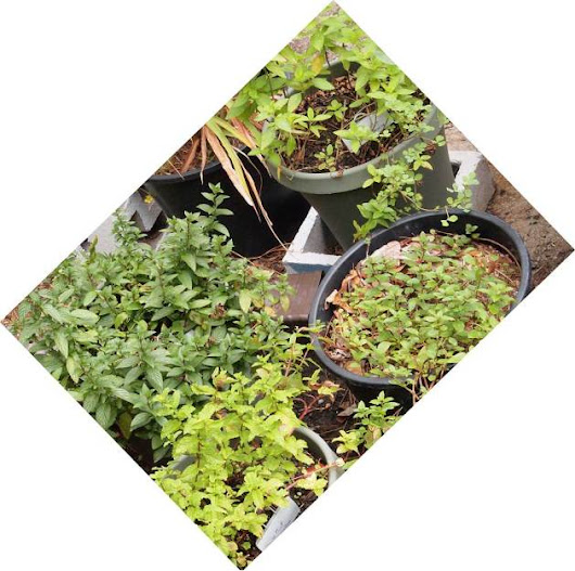 Intro to mints: Mojito mint, Vietnamese mint, Peppermint, Spearmint