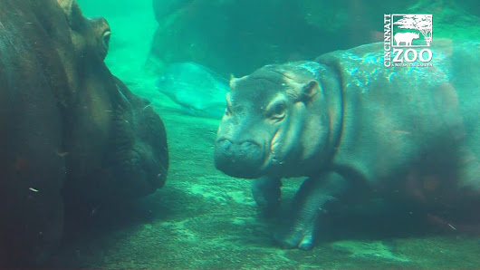 Baby Hippo Photobombs her Parent's Reunion in a Heartwarming Family Picture