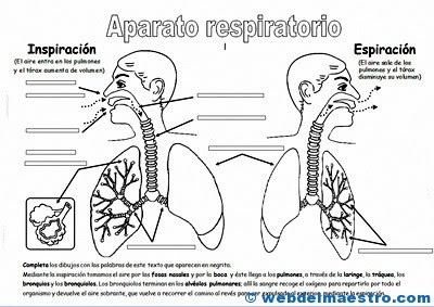Breathing Apparatus For Elementary Students Web Del Maestro