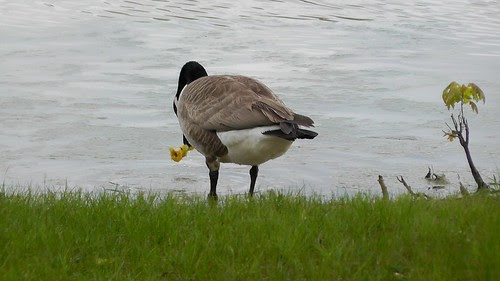 S1340009_Goose_at_Ouabache