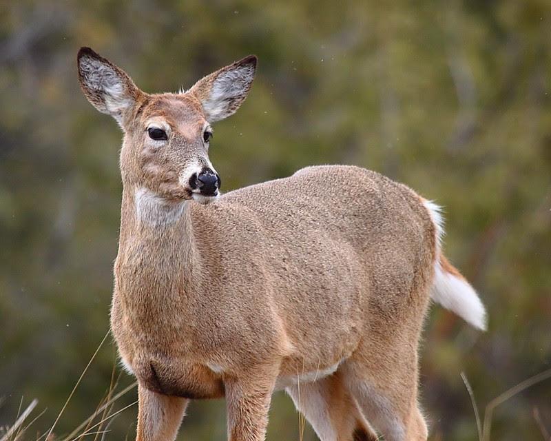 IMG_8045 White-Tailed Deer, National Bison Range