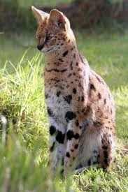servalkat