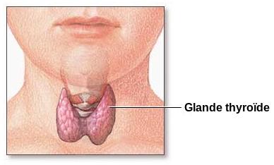 Fichier:Thyroid gland-fr.svg