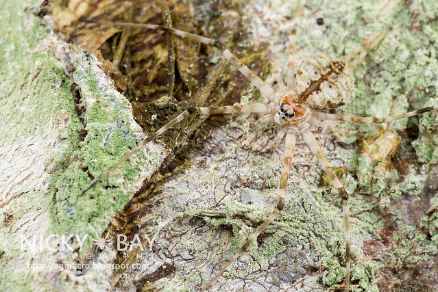 Two-Tailed Spider (Hersiliidae) - DSC_6531