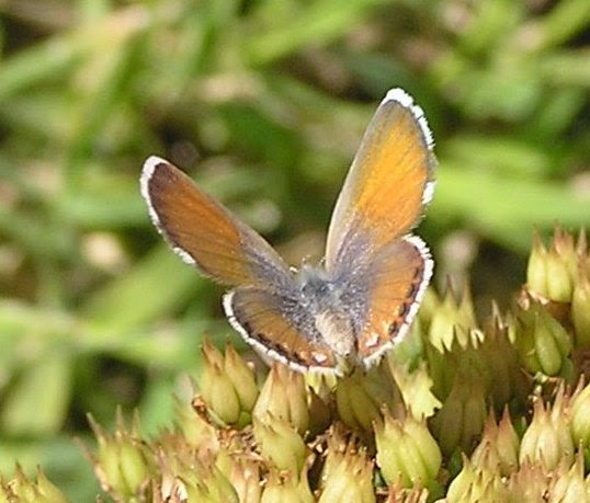 Western Pygmy Blue, perhaps? - Brephidium exilis - female
