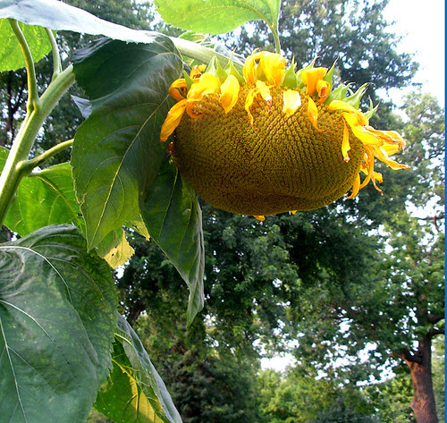 Tom Dooley Sunflower