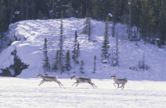 Caribou: 13 facts about one of Canada's most at-risk species