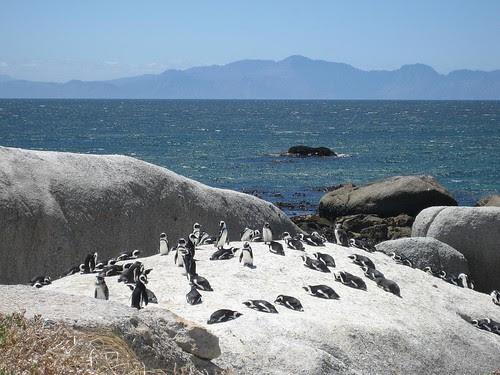 Boulder Bay penguins