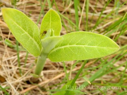 milkweedspider
