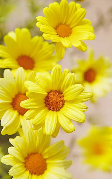 Yellow Dasies #bright #happy #color #flowers