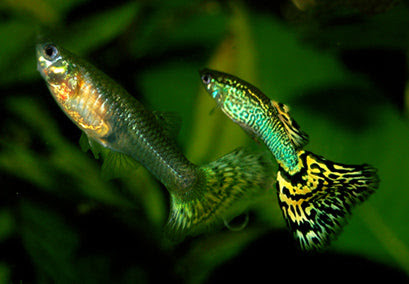 The colorful world of guppies | AquaSprouts