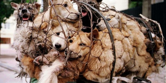 China's Dog Meat Festival Started Yesterday Despite Rumors Of A Ban