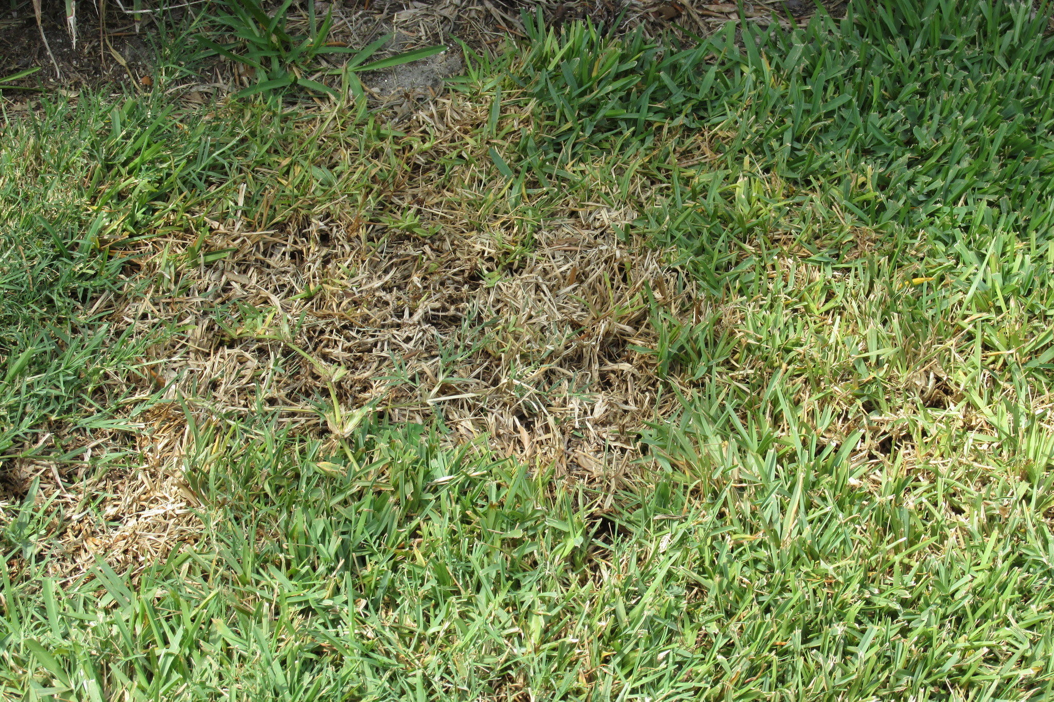 Chinch Bug Are Back In St Augustine Lawns Orlando Sentinel